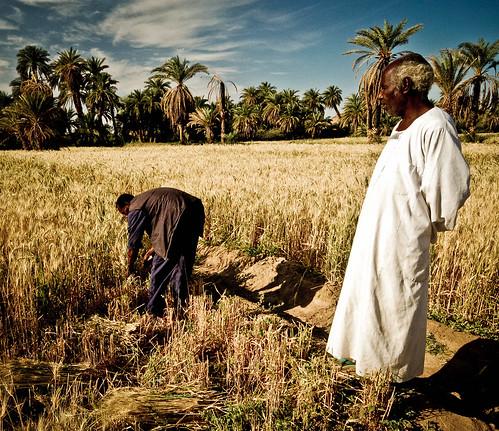 Nubain wheat harvest