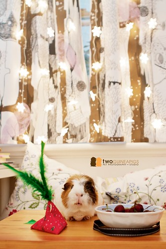 twoguineapigs pet photography wiggley the guinea pig posing with cherries
