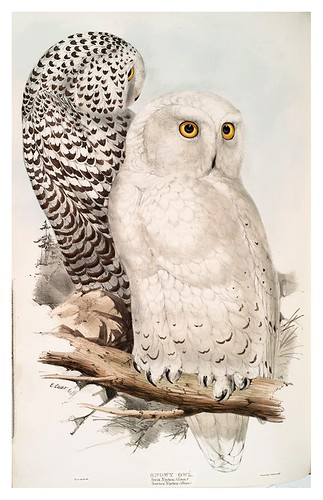018-Buho de las nieves- The birds of Europe Tomo I-1837- John Gould