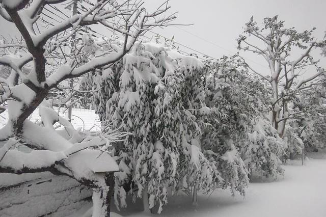吹雪 小休止中。庭木が大変なことに
