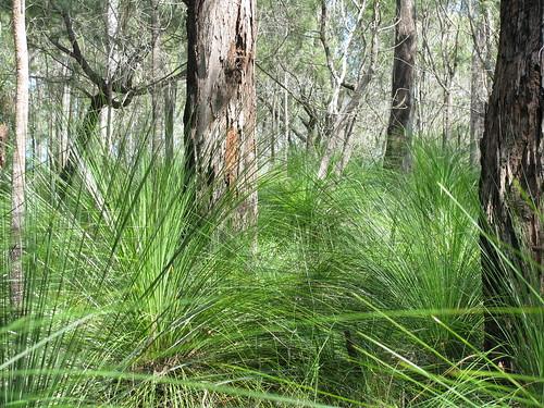 Grass Trees