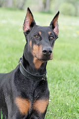 Sheenook, la belle (34 sur 62).jpg (Emmanuel Delahaye) Tags: chien photo photographie photos chienne doberman amie dob dobermann dobs molosse sheenook oasisdesdobs