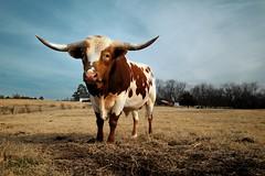 Hi. (MilkaWay) Tags: winter young southcarolina bull pasture longhorn abbevillecounty