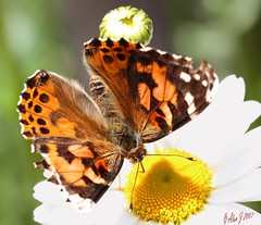 Hard At Work (alanj2007) Tags: ny newyork canon butterfly adirondacks 7d upstatenewyork paintedlady paulsmithscollege uppersaranaclake 100mmmacrof28lisusm