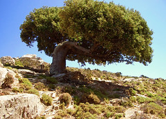 one (egotoagrimi) Tags: tree quercus ikaria aegean greece wilderness holmoak quercusilex