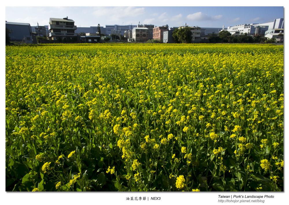 油菜花季節 | NEX3