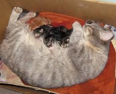 The Kittens Have Arrived (elycefeliz) Tags: cats momo kittens gatos viva katzen man project365