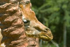 Spagna (Paky63) Tags: giraffe tripleniceshot