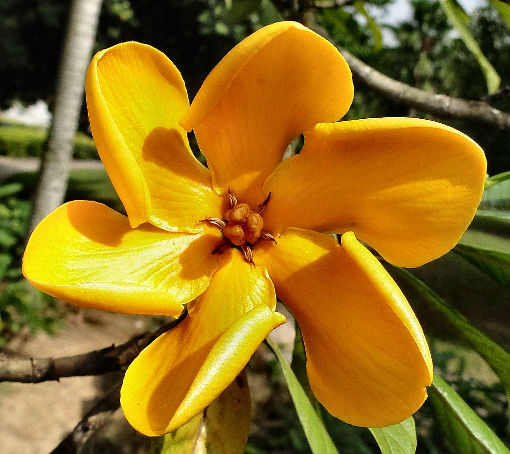 So Golden Yellow in the Sunshine. Gardenia carinata, Airport Park, Pan Pacific Hotel, KLIA, Sepang, Selangor, Malaysia