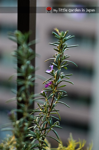 rosemary-blooming-in-winter