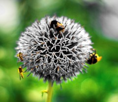 White Spike Bee Flower (pepemczolz) Tags: white flower bees hdr chesterzoo tonemapped minolta50mmf17 sonya350 whitespikebeeflower