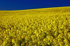 Ocean of Mustard Seed (Fresnatic) Tags: yellow farmland pacificnorthwest washingtonstate colfax palouse mustardseed whitmancounty canolafields canonrebelxsi fresnatic palousefarms