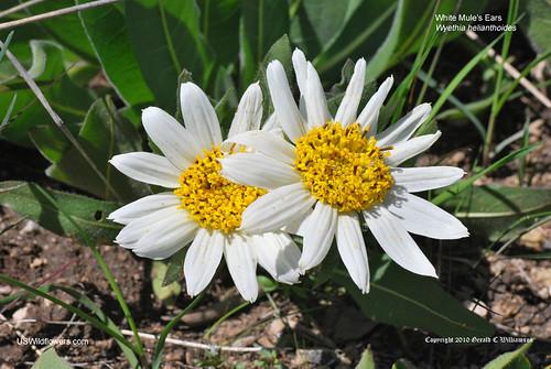 White Mule's Ears, White Wyethia - Wyethia helianthoides