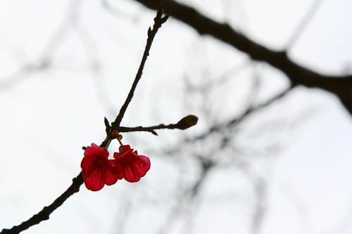 同場加映 - 櫻花兩朵