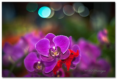 CNY Flowers @ Chinatown_2835 (wsboon) Tags: city flowers light night 50mm nikon singapore chinatown bokeh nightshoot nightlight f18 d700 nikond700