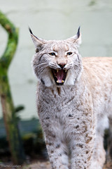 James Godwin-3427 (Jahled71) Tags: charity cute animal cat canon wildlife endangered captive lynx captivity carnivore zoological carnivora felidae terrymoore felinae catsurvivaltrust