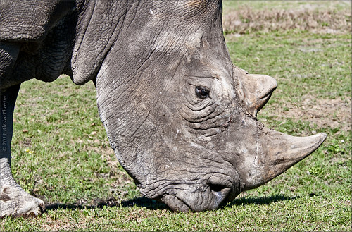 Dream Interpretation Meanings: To Dream About Rhinoceros | Dream ...