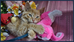 Cute Easter Kitty Cat Kitten in Home Garden Art Decor with Easter Eggs, Stuffed Bunny Rabbits & Spring Flower Basket with Daffodils & Tulips on an Easter Holiday Weekend in Canada. Cute Kitty Cat Kitten ...Kitty Cat Kitten...Cute Kitty Cat Kitten... (Chantal PhotoPix) Tags: family pink flowers decorations friends light wallpaper portrait cats pets holiday canada flower color cute rabbit bunny bunnies art nature beautiful beauty animals photoshop canon painting easter fun photography photo interestingness spring amazing funny colorful day basket purple artistic photos sweet pastel background awesome egg interestingness1 kittens best hires baskets kitties eggs tabbies felines rabbits lovely multicolored decor hdr cutecats easterbunny eastereggs homeandgarden easteregg cutekittens easterbasket easterrabbit easterbunnies easterbaskets homegarden mainecoons chantalc easterrabbits lolcats chantal777livecom