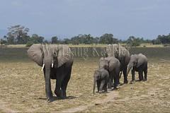 10076350 (wolfgangkaehler) Tags: 2016africa african eastafrica eastafrican kenya kenyan amboseli amboselikenya amboselinatlparkkenya amboselinationalpark wildlife mammal elephant africanelephant africanelephantloxodontaafricana herd babyanimal babyanimals babyelephant