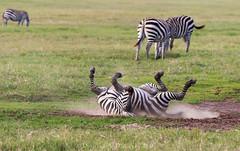 Splish Splash  4417 (Dr DAD (Daniel A D'Auria MD)) Tags: zebra zebras equines mammals animalsofafrica stripes blackandwhite blackandwhitestripes ngorongorocrater ngorongorocaldera tanzania africa iloveafrica childrenswildlifebooksbydanieladauriamd drdadbookscom danieladauriamd march2014 whenyouhearhoofbeats