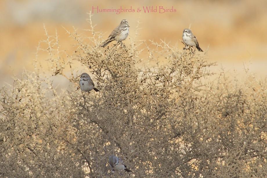 Sage Sparrow 11101-3