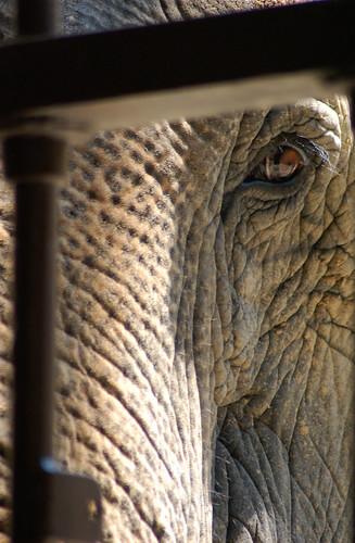 elephant eye (2)