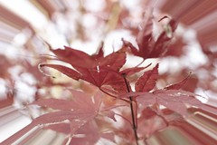 (adf6879) Tags: autumn red abstract leaf japanesemaple swirl nottobeusedwithoutmypermission adfimages