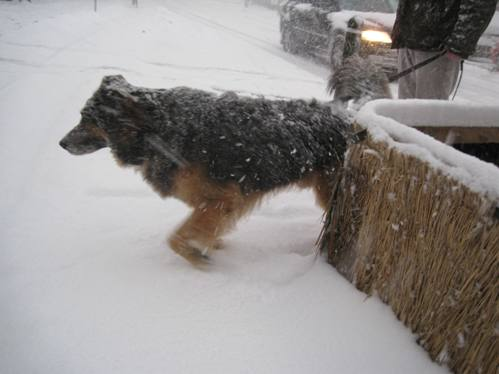 Rufus i snestorm