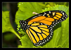 "MONARCH BUTTERFLY ""ITS A COLOURFUL LIFE"" (Gib Rock Photography) Tags: orange leaves gardens canon butterfly insect geotagged botanical eos born fly leaf wings legs body butterflies butter monarch flies 1855mm alameda efs positively canon botanical gardens david 1855mm eos eos reyes butterflies efs butterfly monarch 1000d gibraltar 1000d mygearandmepremium mygearandmebronze mygearandmesilver exposed"