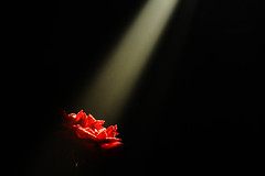 Give Me Some Sunshine... (Nisitesh) Tags: light shadow red flower macro art beautiful beauty rose closeup night dark lowlight natural artistic god dream spotlight divine explore spiritual glance flair westbengal glimps godliness coth