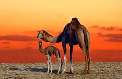 Camels (CaRum@) Tags: mywinners elitegalleryaoi mygearandmepremium rememberthatmomentlevel4 rememberthatmomentlevel1 rememberthatmomentlevel2 rememberthatmomentlevel3 rememberthatmomentlevel5