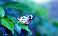 DSC00743 (photohobbies) Tags: nature butterfly bokeh naturesfinest coth nex5 sonynex5