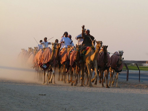Camel Races Al Shahaniya Qatar
