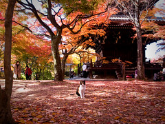 alone on the fallen leaves (Sinnyo-dou temple, Kyoto) (Marser) Tags: japan cat temple kyoto raw autumnleaves     lightroom grd  grd3 grdigital3