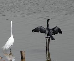 Há espaço para todos/There is room for everyone (Ricardo Venerando) Tags: bird nature animal brasil wildlife abc soe naturesfinest conservacion platinumphoto diamondclassphotographer ysplix grandeabc goldstaraward