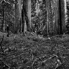 Seeing The Forest For The Trees (Nurse Kato) Tags: trees selfportrait monochrome forest landscape washington sticks douglasfir a850 westerncedar nursekato sal1635 sonya850 whatsbrownandstickyastick thebigcedarisonethativisitoftenwhileinthewoodsagrandoldfriend