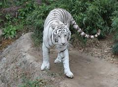 White tiger at the Audubon Zoo in New Orleans (kjdrill) Tags: park usa cats animal cat asian zoo coast louisiana asia gulf neworleans nola exoticcats bigcats bigeasy audubon endangeredspecies 4648