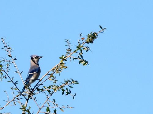 Blue Jay 20101210