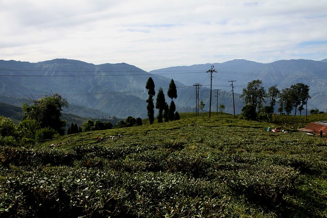Darjeeling Tea Estate