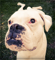 Flexibilidad (Jos L.Gutirrez) Tags: chile santiago portrait dog pet retrato perro boxer mascota