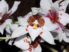 odontoglossum cervantesii (Eerika Schulz) Tags: odontoglossum cervantesii