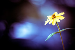 Poise. (CarolynsHope) Tags: blue light flower floral yellow contrast dark mood purple bokeh minimal simple vingette simplistic carolynshope