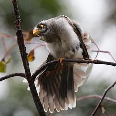 A good stretch (Danack57) Tags: bird garden wildlife wing sydney australian stretch botanic miner noisy myna mynah