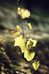 The Hierarchy (Harvarinder Singh) Tags: nature leaf leafscapes harvarindersinghphotography harvarindersingh