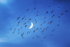 les oiseaux m'attaquent (jrmilie) Tags: blue sky cloud moon me beautiful birds animal st azul les night lune canon landscape eos fly los pretty day d attack paisaje luna jour bleu pjaros ciel cielo bonita flies animales jolie vole nuage paysage da nuit nube beau magnifique belleza oiseaux splendid harms 550 saintgaudens volar gaudens voller roban esplndida 550d annimaux atacan daan slbflocking splandid mattaquent
