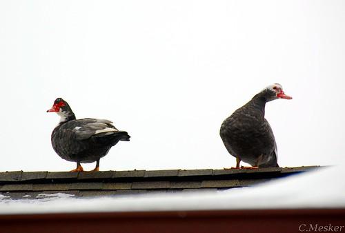 Roof Roosting