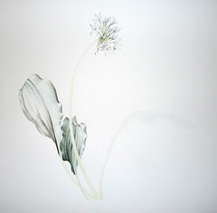 First washes of paint (Sigrid Frensen) Tags: white flower painting botanical progress wip watercolour allium tonal values ramsons shading daslook ursinum