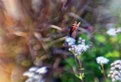 Queen (Anne Worner) Tags: blur flower grass lensbaby butterfly bokeh composer danausgilippus queenbutterfly wefi doubleglass