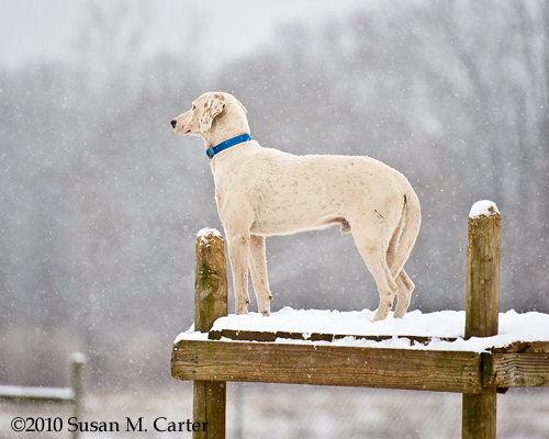 foxhound in snow, Bull Run Hunt