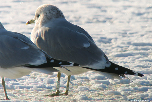 Common Gull, >3cy, W[E27V]